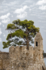 pine tree in castle: pine tree in castle