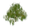 Weeping willow: Tree collection : Weeping willow