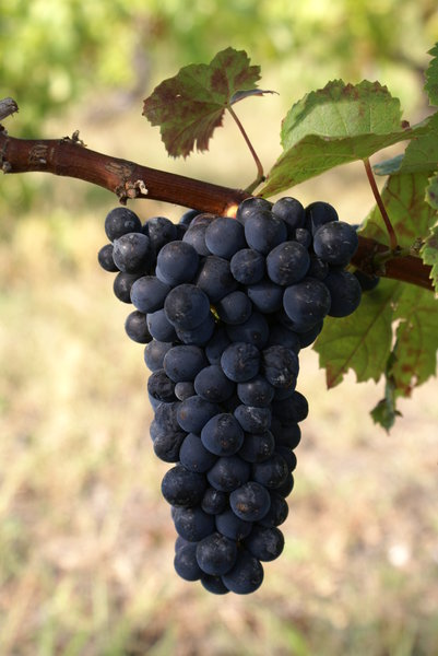 Grape aus Portugal: