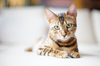 Bengal Cat relaxing on sofa: Young female Bengal Cat relaxing on Sofa, quite overexposed Picture, natural Light, Sony Alpha a 99 at 1600 ISO