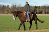 Winter Ride Out: Young Woman riding a dark brown Quarter Horse. Horse has cute thick Fur in the cold Season.