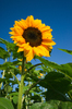 Sunflower: Sunflower and deep blue Sky