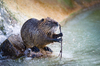 Coypu - Nutria: Coypu standing on a Rock in the River, a Branch in his Hands