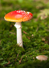 Fly Agaric: Fly Agaric - Toadstool