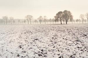 Trees in Foggy Winter Landscap: Snowy Fields with Trees in Mist