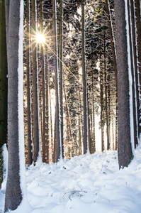 Sunburst in snowy Forest: Sunburst in snowy Spruce Forest, Ice cold Morning