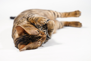 Bengal Cat cuddling with small: Bengal Cat with very small Cuddle Pillow on white Background