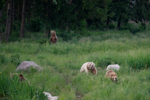 Brown Bear Family: Brown Bear Family, playing in the Grass