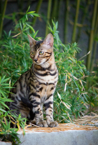 Bengal Cat sitting in Front of: Young Bengal Cat sitting in Front of Bamboo Plant