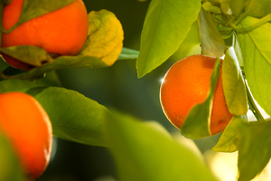 Tangerines on a Tree: Tangerines on a Tree