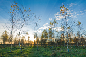 Sunset in young Birch Tree For: Sunset in young Birch Tree Woods, late Autumn