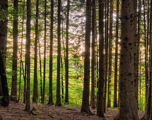 Sunlight sparkling between Tre: Sunlight sparkling between Spruce Tree Trunks in Forest