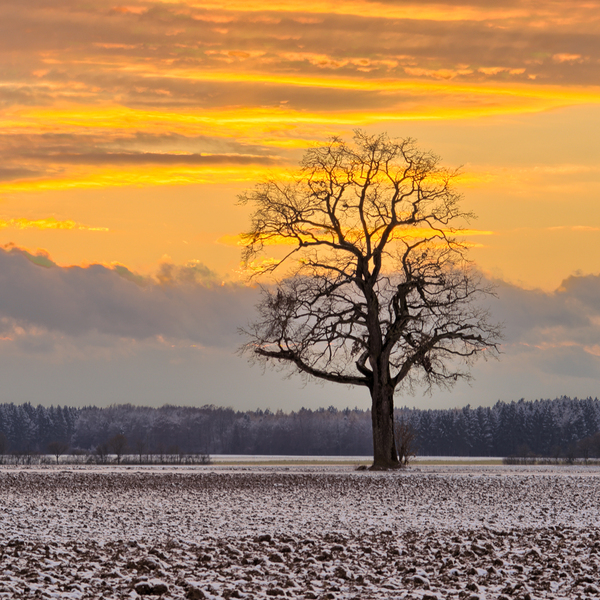 Oak Tree on snowy Fields at Su: Single Oak Tree in frozen Fields  at Sunset