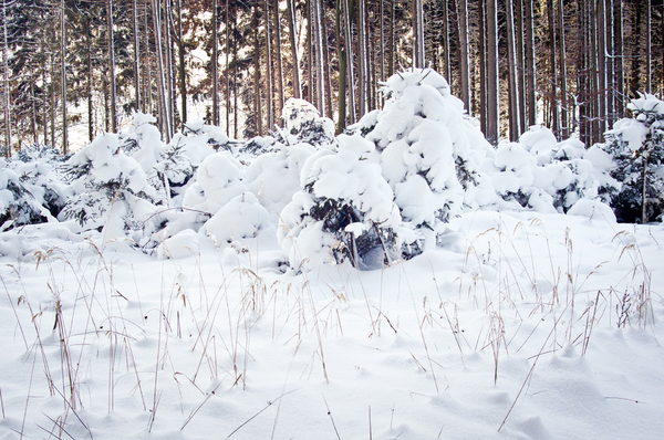 Snowy Forest: Forest with deep fresh Snow, Grass in Foreground