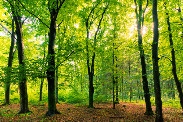 Beech Tree Forest - natural: The Sun shining into a natural Forest with huge Beech Trees