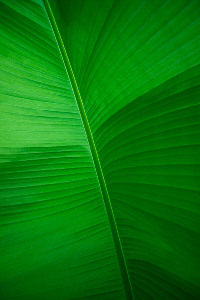 Banana Leaf - underneath: Banana Leaf - Musa textilis - underneath