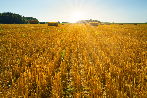 Harvested Field: Harvested Field at Sunset