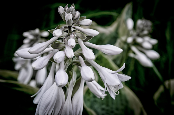 Hosta Flower: Plantain Lily Flower - Hosta