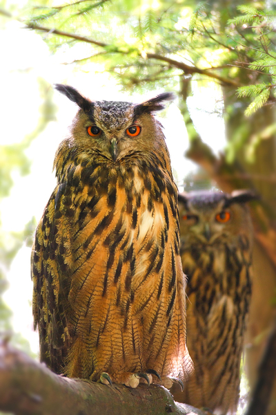 Couple of Eagle Owls: Couple of Eagle Owls sitting on a Tree