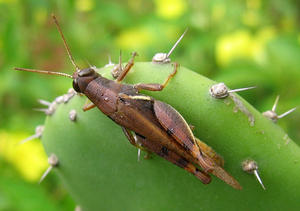 Grasshopper: grasshopper on a cactus