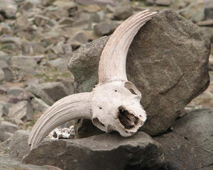 Sheep Skull: Sheep Skull, to ward off ill-luck at Rhumbak Village, Ladakh