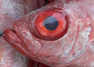 bloodshot eyes: bloodshot eyes of a fish