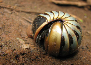 Pill Millipede: Pill Millipede