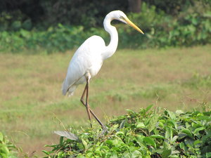 Great Egret: Eastern Great Egret at Mulky, Karnataka, India