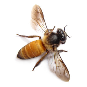 Honey Bee: Honey Bee