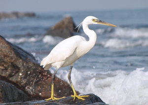Egret Hunting: Egret hunting on the beach