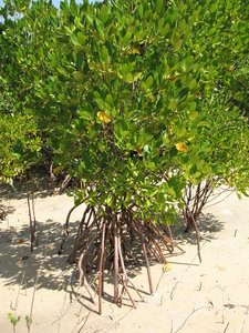 Mangrove: no description