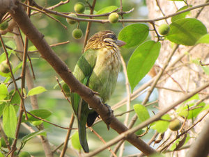 White Cheeked Barbet: no description