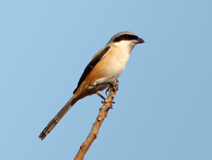 Lange Tailed Shrike: