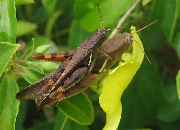 Insects Mating: Grasshopper mating