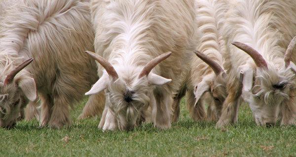 Herd of Sheep: Herd of Sheep on the foothills of the Himalayas