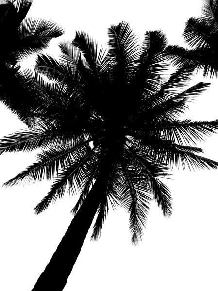 Coconut tree: Coconut tree silhouette