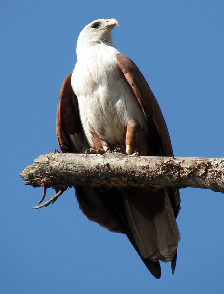 Kite: Brahminy Kite basking in the first rays of sun