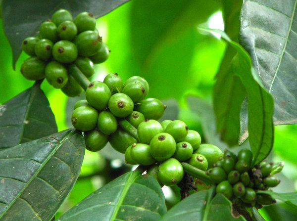 Green Coffee Beans Free Stock Photos Rgbstock Free Stock