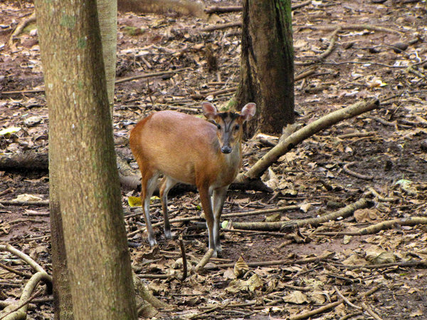 Barking Deer: no description