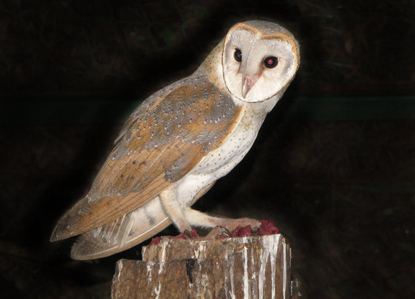 Barn Owl: The most wide spread owl, and probably has the most names for a bird!  (check the keywords for the names)