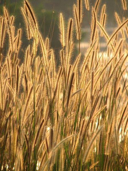 Blades of grass: Golden hues created by the blades of grass at sunset