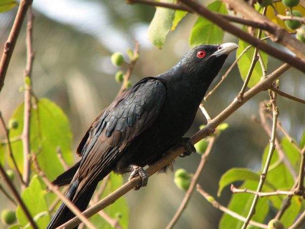 Koel: Interesting fact: The Asian Koel is a brood parasite that lays its eggs in the nests of crows and other hosts, where the young are raised by the foster parents.