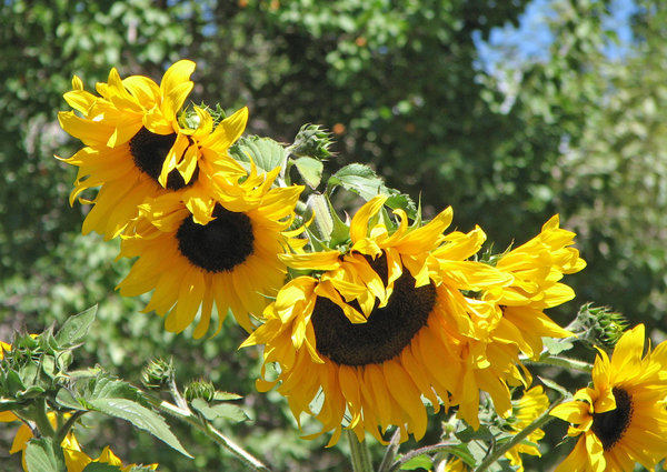 Sunflowers: no description