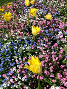 Spring Flowers: Tulips and forget-me-nots