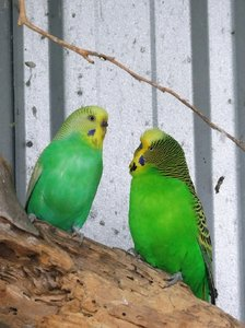 Green Budgies: a bonded pair of green aviary budgies