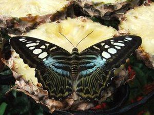 Tropical Butterfly: singaporean butterfly on pineapple