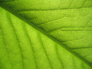 A study in the leaf 2: Green leaf