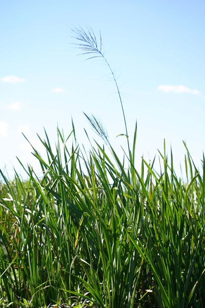 Lone Grass: a tall stalk of grass rising over others