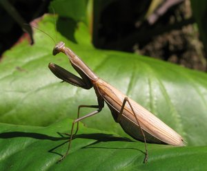 praying mantis: none