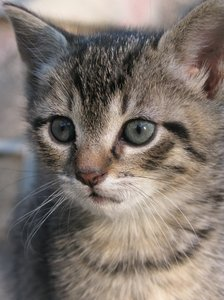 kitten portrait: kitten,cat,pet,pets,animal,grey,little,